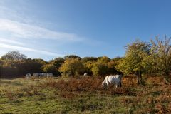 Some white cows grazing on a meadow with some trees, beneath a blue sky. Some white cows grazing on a meadow with some trees beneath a blue sky royalty free stock photo