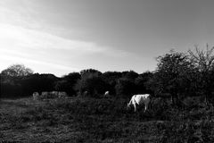 Some white cows grazing on a meadow with some trees, beneath a deep sky. Some white cows grazing on a meadow with some trees beneath a deep sky royalty free stock image