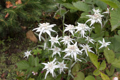 Some white edelweisses in Austria mountain. White edelweisses in Austria mountain Stock Images