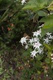 Some white edelweisses in Austria mountain. White edelweisses in Austria mountain Stock Photos