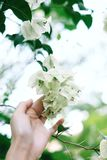 Some White Flowers Bloom With Someone Hand. Some white flowers bloom  in the garden were touched by someone hand Royalty Free Stock Photography