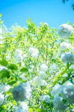 Some white flowers under the blue sky stock photography