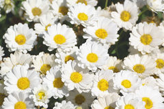 Some white marguerite flowers. Daisy garden with open petals and yellow stamens. Floral background Stock Photography