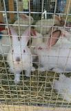Some white rabbits in the cage. White rabbits in the cage royalty free stock photo