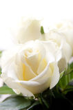 Some white roses. Over light background Stock Photo