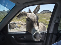 Some Wild Burros are not so wild Stock Photography