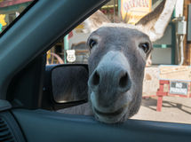 Some Wild Burros are less than wild. Wild Burro on Route 66 in Oatman, Arizona Royalty Free Stock Images