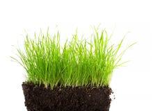 Some wild grass in soil isolated on white Stock Photos