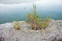 Some willow buds try hard to grow on a rock by the lake. Stock Photo