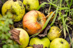 Some windfalls apples laying in the dirt. Close up of some windfalls apples laying in the dirt Stock Photo