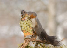 After some wines. Close up of red squirrel standing with a basket with green grapes and the tongue out stock photography