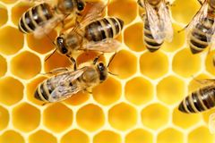Some working bees on a beeswax royalty free stock images