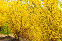 Some yellow bushes. In spring park stock image