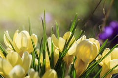 Some yellow crocuses in spring. Macro of some yellow crocuses in spring Stock Images