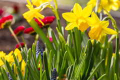Some yellow daffodil flowers. In spring Royalty Free Stock Images