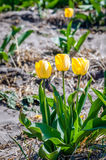 Some yellow flowering tulip bulbs at the edge of a large flower. A few yellow blossoming tulip bulbs outstanding at the edge of a large flower bed on the field Royalty Free Stock Images