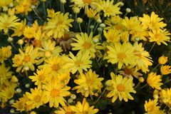 Some yellow flowers. A plant with yellow flowers growing in my neighbors yard Royalty Free Stock Image
