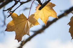 Some yellow Norway maple leaves in sunlight with blue sky in background Royalty Free Stock Images