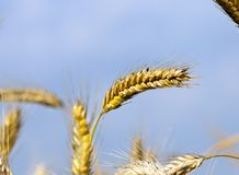 Ripe ears. Some yellowed wheat ears in the field at the end of summer. photo close-up before harvesting cereal. on a background of blue colorful sky Royalty Free Stock Photo