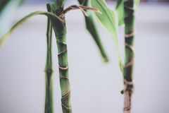Young bamboo stalks royalty free stock photo