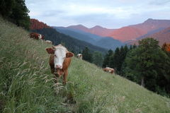 Some young cows on a field. In the bavarian mountains royalty free stock images