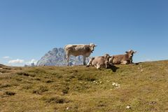 Some young cows resting over an alpine pasture in Dolomites royalty free stock image