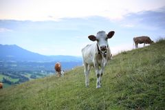 Some young cows. Are standing on a hill stock photos