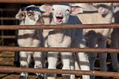 Some young lambs fenced in Royalty Free Stock Images