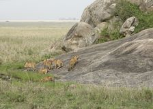 Some young Lions near rock formation. Young Lions in Tanzania (Africa Royalty Free Stock Photos