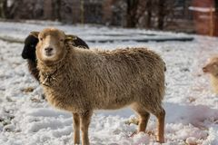 Sheep in a winter day royalty free stock images