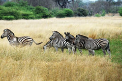 Some zebra Royalty Free Stock Image