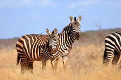 Some Zebras in the African Savannah. Some Zebras (Equus Quagga (lat.)) in the Tsavo East National Park in Kenya royalty free stock images