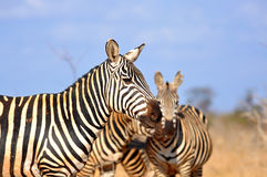 Some Zebras in the African Savannah. Some Zebras (Equus Quagga (lat.)) in the Tsavo East National Park in Kenya stock images