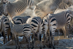 Some Zebras back at waterhole. Seen and shot on self drive safari tour through several natural parks at namibia, africa Royalty Free Stock Photo
