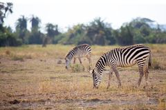 Some zebras are eating grass in the savannah. In Kenya Royalty Free Stock Photos