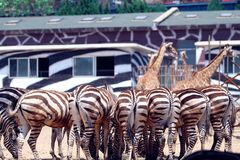 Some zebras in the zoon. Some zebras in the zoo are eating in sunny day, stripe animal royalty free stock photography