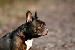 Side facing puppy royalty free stock images