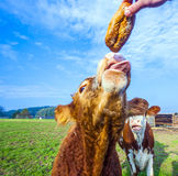 Somebody is feeding cattles with bread at the meadow Royalty Free Stock Photos