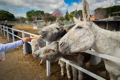 Donkeys love carrots whenever and always stock photography