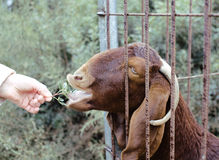 Somebody`s hand feeding animals at the zoo Stock Image