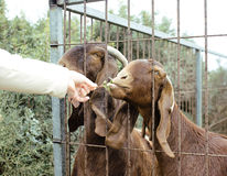 Somebody`s hand feeding animals at the zoo. Forbidden staff Stock Photos