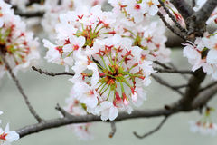 Somei-yoshino. Cherry blossom in Japan stock images
