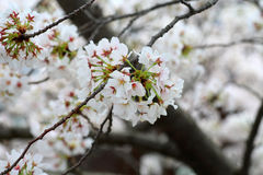 Somei-yoshino. Cherry blossom in Japan royalty free stock photography