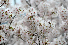 Somei-yoshino. Cherry blossom in Japan royalty free stock image
