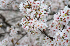 Somei-yoshino. Cherry blossom in Japan Stock Photos