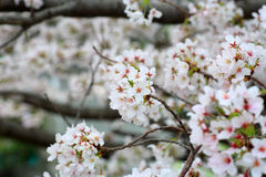 Somei-yoshino. Cherry blossom in Japan royalty free stock photos