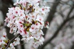 Somei-yoshino. Cherry blossom in Japan Stock Photography