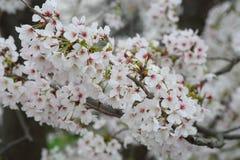 Somei-yoshino. Cherry blossom in Japan Royalty Free Stock Photo