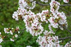 Somei-yoshino. Cherry blossom in Japan Stock Image