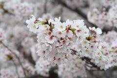 Somei-yoshino. Cherry blossom in Japan Stock Photo
